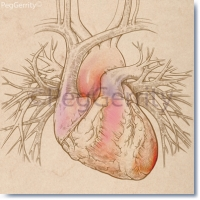 074 Heart w Pulmonary Vessels