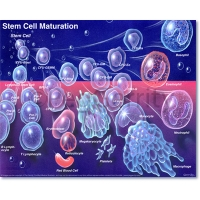 Stem Cell Maturation Poster 056