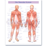 Muscular System Poster 239