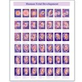 Poster of Human Fetus 487