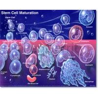 Stem Cell Maturation Poster 056