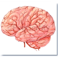 Arteries of Brain (Image 5)