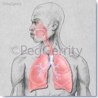 339V Respiratory System