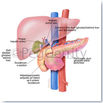 Portfolio - Peg Gerrity, Certified Medical Illustrator