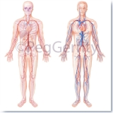 404-TA-Anatomy-and-Circulatory-System-in-Layers