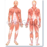424 Muscular System